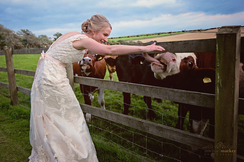 Bride with farm cows at this rural Devon wedding